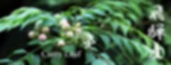 標高800メートルに位置する飛騨の温泉ハウスで 無農薬栽培にて栽培しています 飛騨産のカレーリーフ生葉の風味に勝るものはない