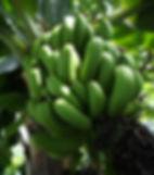 豪雪地帯、奥飛騨・栃尾温泉にある  「株式会社 奥飛騨ファーム」  では、豊富に沸く温泉の力を利用し、  日本初となる温泉湯気を使った  バナナの栽培に取り組んでいる。  (写真:食用の三尺バナナ)