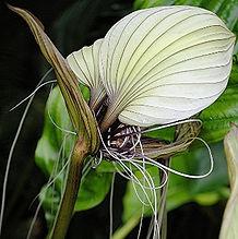 コウモリの花(タッカ・シャントリエリ)苗販売