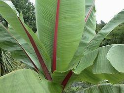 アビシニアバショウ  別名:アビシニアンバナナ  学名:Ensete ventricosum  原産地:アフリカ  大型草本で、高さが12mと非常に大きくなる。花序は暗赤色の苞で覆われ、その間から白色花を咲かせる。偽茎からデンプンが採取される。バナナの中でも耐寒性があるといわれている。