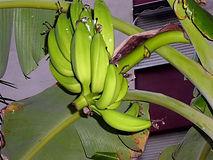 へレンズバナナ  (Musa sp. Helen's Hybrid)   学名:Musa sp. Helen's Hybrid  原産国:ヒマラヤ東部  すごく耐寒性のある種類です。果実には種はありますが甘く香りの良い美味な  バナナです。