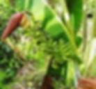 雲南バナナ Musa yunnanensis  学名:Musa yunnanensis  原産国:中国  雲南バナナは2000~3000mほどの高地に自生しているため耐寒性は大変高い。  非常に優雅で成長が早く、耐寒性、耐陰性に優れた美味なバナナ
