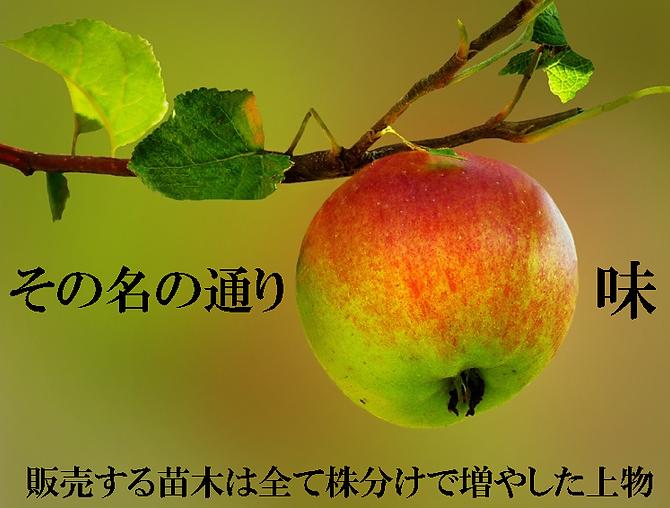 南国ハワイでは有名なリンゴ味の食用のアップルバナナ苗販売。その名の通りリンゴの味がする耐寒性の食用バナナ。耐寒性も優れていて冬越し可能な品種。日本でも耐寒性があり美味しいと人気の品種。海外でも耐寒性が強く味は美味しいと有名な品種です。ドワーフオリノコバナナ、アイスクリームバナナに次ぐ3番目の耐寒性を秘めている耐寒性食用バナナ。アップルバナナはかなり珍しいレアな品種です。学名Musa・Manzano
