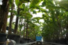 生育温度 バナナの栽培には20~30℃くらいが適しています。15℃以上で管理すれば元気です。これはあくまでも理想の気温です。観葉植物同様の管理で大丈夫です。 最低でも5℃は必要ですので、冬は部屋の窓側に置けば大丈夫です。品種によって温度が変わりますが5℃をきらなければ大丈夫です。沖縄などのバナナは寒さに弱いので注意。三尺バナナ・島バナナなど。 野外での栽培の場合、葉を切りワラなどでバナナを覆い冬越しをしてください。品種によっては野外での冬越しができない事もあります(三尺バナナ、島バナナ、宮崎バナナなど)。海外の野生のバナナは比較的強いです。 食用バナナではアイスクリームバナナ・デュスレバナナ・サババナナ・アップルバナナなど耐寒性のバナナは寒さに強いです。他の品種との差はかなり違います。