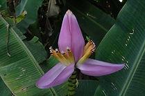 パープルオルナタバナナ Musa ornata (purple flower)  学名:Musa ornata (purple flower)  原産国:東南アジア  オレンジオルナタバナナと同様、あまり大きくならず鉢植えで室内でも十分楽しめます。  耐寒性も比較的あります。パープルの花が咲き魅力的なバナナ。