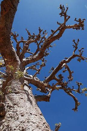アフリカ大陸の南東、西インド洋に位置するマダガスカル島には、樹齢1000年を越す神秘的で美しいバオバブの木