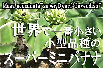 背丈1mくらいで美味しいバナナが実る!!スーパーミニバナナ苗の販売。しかも食べて美味しいバナナ。スーパーミニバナナは海外で品種改良され生まれた品種。小型なので室内で管理ができます!耐寒性は5度程度。学名:Musa acuminata 'Super Dwarf Cavendish' 別名:矮性ミニバナナ・スーパーミニバナナ。奥飛騨ファームだからできる温泉熱を利用しスーパーミニバナナ苗を年中栽培可能になりました。