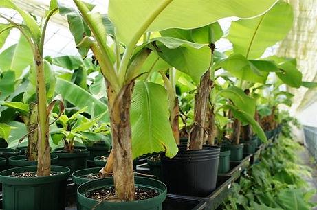 奥飛騨ファームバナナ園内の様子。温泉ハウス。バナナ苗木を主に生産
