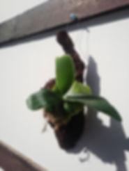 コウモリラン・ヘゴ板付け No1   こんな本場のへゴ板なんて手に入らない・超限定品。どれも全て形が違うヘゴ板。自然の形をそのままコウモリランにヘゴ板付けしています。 一般的なコウモリランのヘゴ板付けに飽きた方はワンランク上のヘゴ板付けをしてみてください。 水槽の中で植物を育てるアクアテラリウムやテラリウムに利用したら誰もが目をひくだろう。 ※限定生産のため同じものは手に入りません。  ※写真現品 ※高さ30㎝ほど ※へゴ板裏にはフックが付いていて壁掛け用 1株 3980円 売り切れ
