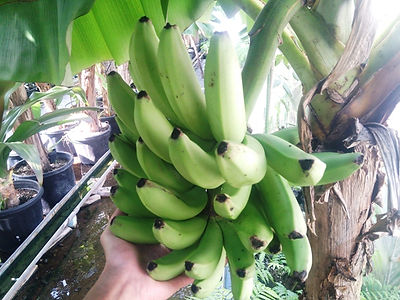 バナナを10本ずつ分けます。品種:三尺バナナ  ※ご注文を確認次第、収穫しお送りいたします。大小さまざまです。  甘みが強く弾力ある触感のバナナです  10本:1500円(税込) 売り切れ  ※ご予約が多く、今現在受け付け中止にしています