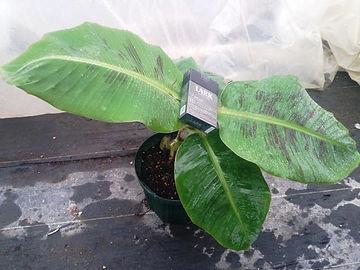 輸入したトゥルーリタイニーバナナ中苗   学名:Musa TrulyTiny この品種も超小型品種です。開花の大きさはスーパーミニバナナとさほど変わりませんが、トゥルーリタイニーバナナの方が小さい感じがします。味は甘くておいしい。弊社で開花済です。鉢植えで開花いけます。耐寒性はありません。5度下回らない環境が理想。 輸入苗木にしては激安価格にしています。