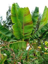 ジャイアントダージリンバナナ Musa sikkimensis daj giant  学名:Musa sikkimensis daj giant  流通名:ダージリンジャイアントバナナ  耐寒温度:-7~8度程度  原産地:インド  ダージリンバナナ同様の耐寒性のバナナです。寒さに強いので人気の品種です。