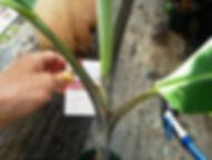 幹が黒く染まるバナナ・ブラックタイバナナ特大苗・限定 学名:Musa balbisiana Black バナナの中でも変わった品種。 幹が黒く染まります。実は黒くはなりません。 1本限定。次の販売予定はなし 株分けをした吸芽の苗になります。食用バナナです。