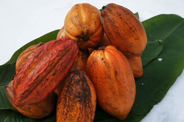 輸入できる新鮮なカカオの果実    ※2018年度の輸入カカオ果実は  今現在はご予約は受け付けていません    【小さいカカオ果実】 品種:トリニタリオ種(TRINITARIO)  ・イエローカカオ(SmallYellow Cacao Fruit) 2600円 売り切れ  ・レッドカカオ(SmallRed Cacao Fruit)   2600円 売り切れ    【大きいカカオ果実】 品種:トリニタリオ種(TRINITARIO)  ・レッドカカオ (Large Rounded Orange Red Cacao Fruit)3300円 売り切れ  ・イエローカカオ(Long Ribbed Yellow Cacao Fruit)     3300円 売り切れ    ※果実代以外に海外運送費・国内送料が必要です  ※お支払いは先払いになります(郵便振込み)  ※1個だけ購入するよりも複数購入した方が海外運賃がお得です  ※発注からお手元に届くまでに約30日程度お時間がかかります。(現地を発送されたら1週間程度で日本に届きます)  ※現地で収穫が終わると販売できません。  ※果実は新鮮な状態を長期間保てないので常に在庫はありません。      ※輸入したばかりの新鮮なレッドカカオの実。流通していないのでカカオの実はレア!  ※カカオの実には30~50粒ほどの種があります。カカオは採りたての種でないと発芽しないため、発芽率はかなりいいです。 ※食用目的では販売していません。種からの栽培を楽しんでください