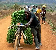 お得なバナナ苗のセット販売開始! ※単品で購入するよりかなりお得な価格設定しています