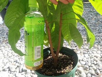 2年物・レッドカカオ特大苗・1本のみ限定販売・写真現品  大きいカカオが実る品種です(Large Rounded Orange Red Cacao Fruit)  品種:トリニタリオ種(TRINITARIO)  特大苗 6500円 完売
