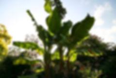 ダージリンバナナ   学名:Musa sikkimensis  原産地:インド、ブータン、ヒマラヤ  耐寒温度 : -10℃ぐらい     ヒマラヤの標高2000mに自生する。  甘みのある果実が結実するが、かなり固く種子も入っている。水と肥料を十分に供給するといちだんと成長が早い。冬期にはワラやコモで防寒してやるとよい。