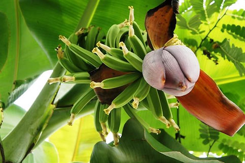 奥飛騨ファームのバナナ
