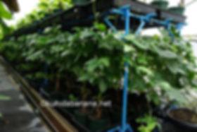 標高800m奥飛騨での温泉栽培によるガックフルーツ栽培の様子