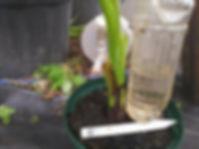 耐寒性食用バナナ・アイスクリームバナナ大苗No1 (見本) 品種:アイスクリームバナナ 学名:Musa icecream