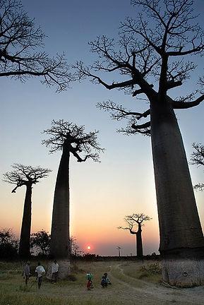 バオバブ(英名:Baobab、学名:Adansonia)はアオイ目アオイ科(クロンキスト体系や新エングラー体系ではパンヤ科)バオバブ属の総称のこと。 「バオバブ」の名は、16世紀に北アフリカを旅したイタリア人植物学者が「バ・オバブ」と著書に記したのが始まり
