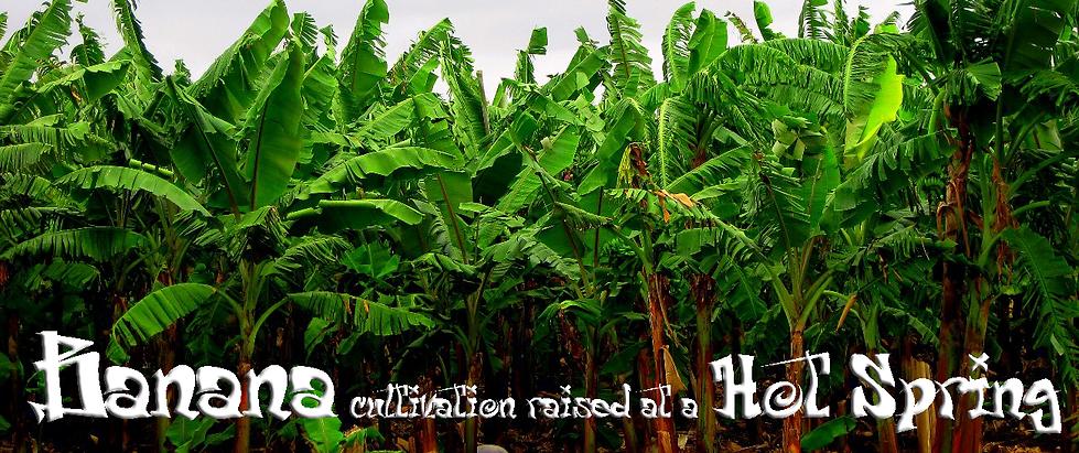 奥飛騨ファームでは他では手に入らない 寒さに強いバナナや珍しい特殊なバナナの苗を販売しています。 お庭や室内のインテリアとして育て南国気分を楽しんでください。 初めて育てる方でもご安心ください。栽培のアドバイスいたします! 栽培説明書も同封してお送りしますのでご安心ください。