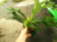 コウモリラン中苗No1(ビカクシダ・プラティセリウムビフルカツム)右写真現品 Platycerium bifurcatum 葉がコウモリの羽のような形をしているのでこう呼ばれている。 板などに張り付けて独自のスタイルにアレンジしてみてください。この上物の株でこの価格なら絶対お得。 1鉢   2800円 ご注文はこちら ※ヘゴ板に張り付けたコウモリランの販売はこちら