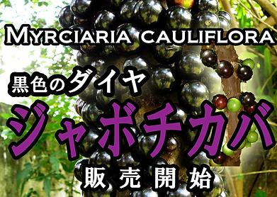 激安!ジャボチカバ特大苗木(小葉系) 写真見本  学名:Myrciaria cauliflora 英語: Jabuticaba 原産地:ブラジル 日本でも栽培者が急激に増えているジャボチカバ。耐寒性もマイナス3度程度耐えるために人気が強い。 味は薄い味の巨峰に近い。栄養も豊に含まれていることから人気が高い。 幹に実が付くので面白い果実でもある。環境が合うと孫どの代まで生きると言われています。 ※接ぎ木した親の木から挿し木で増やした苗木になります。実はなりやすいです。