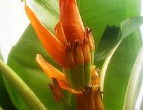 オレンジオルナタバナナ Musa ornata (orange flower)  学名:Musa ornata (orange flower)  原産国:東南アジア  あまり大きくならず鉢植えで室内でも十分楽しめます。  耐寒性も比較的あります。オレンジの花が咲き魅力的なバナナ