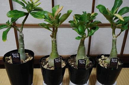 砂漠のバラ(アデニウム・オベスム) 学名:Adenium obesum     砂漠のバラと呼ばれているぐらい美しい花を咲かせます。種から育てないと写真のようにはなりません。  原産地から輸入をした苗木になります。ずんぐりむっくりした独特の形が魅力的。  デザート・ローズと呼ばれ日本では砂漠のバラと流通している。  栽培の様子はこちら