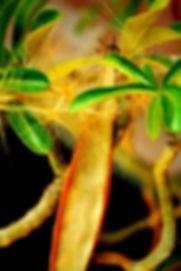 原産国から直輸入した砂漠のサボテン(アデニウム)の苗木販売。日本では砂漠のバラとして流通しているアデニウム。耐寒性も比較的強く冬でも室内でしたら栽培可能。砂漠のバラ・アデニウム育て方は盆栽として育てるのもOK。アデニウムはアフリカの砂漠に生えるキョウチクトウ科の植物の一種。美しい花を咲かせ独特の木の形をした魅力的な植物。花は特に赤、ピンク系が多いですが、白も有り、光沢のある美しい花。