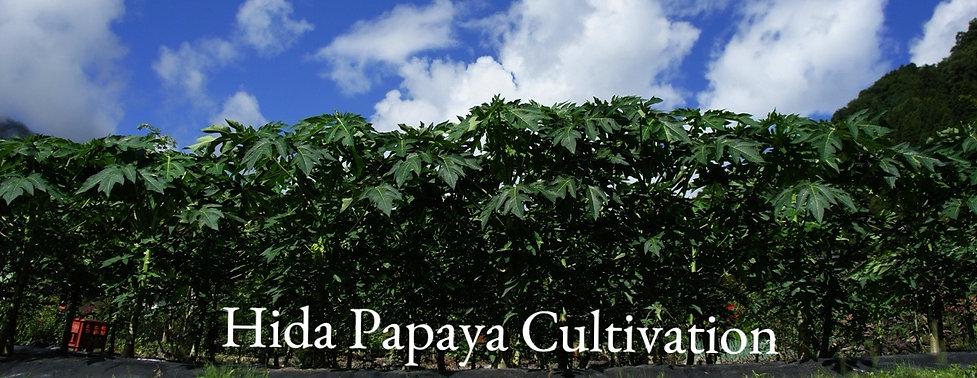 飛騨産のパパイヤ葉茶栽培の様子