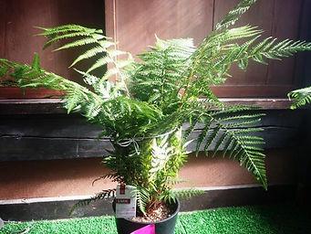 耐寒性がハンパないディクソニア特大苗・数量限定   ●学名/ Dicksonia anterctica ●日本名/  ディクソニア・アンタルクティカ ●分類/ 木立性シダ植物 ●原産地/ オーストラリア  耐寒性・耐陰性に優れ人気があるディクソニア・アンタルクティカ。 栽培してても耐寒性が強いので育てやすい。そして枯れにくい。 数量限定で生産。かなりの特別価格です。無くなり次第、販売終了致します。  ※写真は見本ですが同等のクラスを手配いたします。  特大苗 9800円 ご注文はこちら