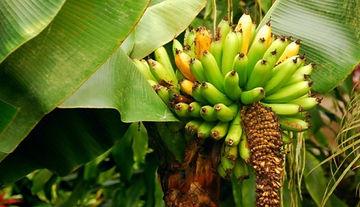 矮性ミニバナナ・スーパーミニバナナ
