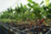 (株)奥飛騨ファームは農家直販です。だからお得な値段でお客様にバナナ苗を提供できます。年間数千本のバナナの苗を個人のお客様に直販売しています。国内では1社しかないバナナの専門店です。珍しい品種は海外の取引業者から直輸入し販売いたします。  バナナの苗以外にも種の販売もしています。