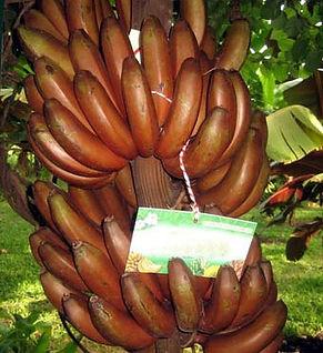 ・レッドバナナ  (Red Banana)  ご覧のとおり赤色の食用バナナです  かなりレアな品種です  人気度:★★★