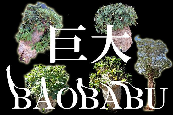 巨大クラスのバオバブの木も輸入