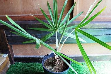 ビスマルキア・ノビリス(グリーンリーフ)特大苗 8号鉢入り 写真現品・ラスト1鉢 Bismarckia nobilis 科 名 : ヤシ科 Arecaceae   属 名 : ビスマルキア属  原産地 : マダガスカル  最低温度 :-5℃  大きな特徴は、鳥の羽のような豪華な葉の形。美しく、耐寒性もあり。珍しいレア品種なので流通はあまりしていません。大きくなると数万円、数十万円もするとても高価なヤシです。インテリアとしVeryGood。  特大苗 12000円 完売しました