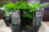 ハワイで有名な希少価値のコナコーヒー苗・格安にしています 写真見本 C. arabica 'Kona' 原産地:ハワイ コーヒーの中では希少価値があり有名なコナコーヒー。なかなか流通しないコナコーヒーを格安にしています。 一般的なコーヒーの木とは味が異なります。輸入した種子で増やした苗木です。 1鉢         700円   2鉢セット  1300円   3鉢セット  1950円 4鉢セット  2600円  ご注文はこちら