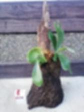 置き使用のコウモリラン・ヘゴ板付け No4  こんな本場のへゴ板なんて手に入らない・超限定品。どれも全て形が違うヘゴ板。自然の形をそのままコウモリランにヘゴ板付けしています。 一般的なコウモリランのヘゴ板付けに飽きた方はワンランク上のヘゴ板付けをしてみてください。 水槽の中で植物を育てるアクアテラリウムやテラリウムに利用したら誰もが目をひくだろう。 ※限定生産のため同じものは手に入りません。  ※写真現品 ※高さ40㎝ほど ※地面に置き使用 1株 7800円 売り切れ