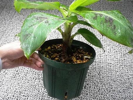 スーパーミニバナナ小苗(株分けした苗) 小苗1本:2500円   小苗2本セット:4200円  ご注文はこちら  収穫したスーパーミニバナナの様子をブログに掲載しています
