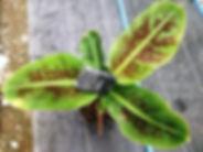 食用の三尺バナナ中苗!株分けした吸芽 三尺バナナはあまり大きくならず鉢植えで室内でも十分楽しめます。 耐寒性は5度程度。食用のバナナです。沖縄では有名なバナナですね。 ※他で売られているメリクロン苗とは違い自社農園で収穫量が多い苗木を選び株分けした苗になります。ですので大量生産はできませんので数はわずかです。 珍しい品種ではないので比較的どこでも入手しやすい。