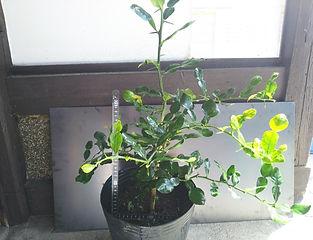 2年物・コブミカン(バイマックルー)苗木・写真見本  学名: Citrus hystrix  コブミカンの葉はアジア料理には欠かせないハーブとして利用されている。木にはちゃんとみかんも成ります。乾燥葉では風味がなくスパイスとしては生葉が重要になる。なかなか市場には流通していない。コブミカンの生葉は冷凍しても利用できます。成長は遅いので大きくなるには年数がかかります。数量限定で生産しています。無くなり次第販売終了になります  ※コブミカンの生葉の販売はこちら  1鉢     2980円   2鉢セット  5600円 ご注文はこちら