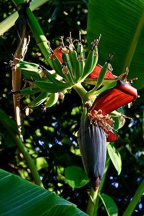 耐寒性アイスクリームバナナ アイスクリームバナナ 美味しいバナナ 寒さに強いバナナ 耐寒性バナナ バニラ味のバナナ Musaicecream バナナ苗 バナナ苗木 アイスクリームバナナ苗