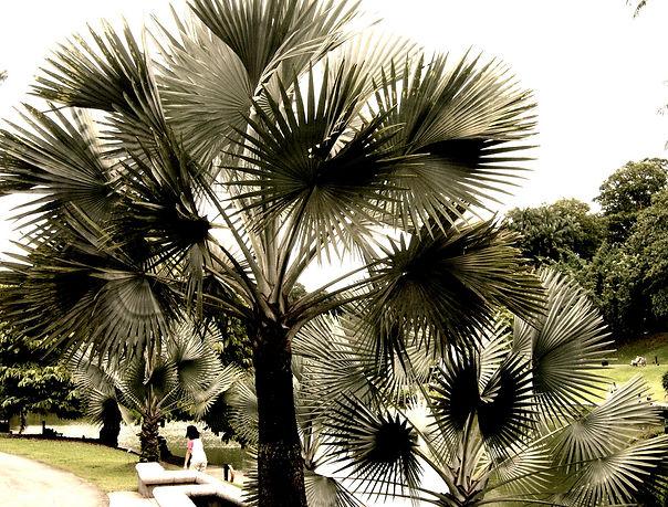 南国といえばヤシの木  国内ではなかなか手に入らないヤシの苗・種を販売しています  寒さにも強いヤシをお庭や室内のインテリアに  南国気分を楽しんでください初めて育てる方でもご安心ください。栽培のアドバイスいたします!  発芽説明書・栽培説明書も同封してお送りしますのでご安心ください。