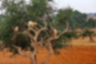 話題のアルガンオイルの原材料(アルガンツリー)の種子 学名:Argania spinosa 別名:アルガンツリー 原産地:モロッコ 近年世界中で色々と話題になっているアルガンオイル(アルガン油)。ヤギが登り実を食べる光景は有名。 人気があるので無くなり次第完売です。個体差あるが弊社の農園でも環境が良ければ発芽しています。 ※発芽しにくいと言われていますが温度があれば普通に発芽し発芽率も良い。    5粒  900円 完売 10粒 1700円