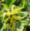 イランイランノキ(Cananga odorata)発芽の様子はこちら  Cananga odorata  バンレイシ科:イランイランノキ  原産国:フィリピン・インドネシアなど  花(イランイラン)は黄緑色あるいは淡紅色で、ヒトデのように巻き上がり縮れた形状。花から取れる精油の名称。鉢で育て観葉植物としてOK。日本ではなかなか売っていない。  有名なシャネルNo5の香水の香料にも利用されています。他にも多数のブランドの香水の原料になっています。  20粒 600円  完売