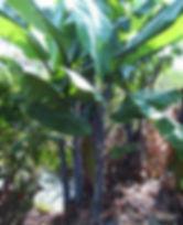 ・ブラックタニイバナナ  (MUSA BALBISIANA COLLA )  茎が黒色に染まる珍しいバナナ  なかなか見ることが困難なレアなバナナ  人気度:★★★