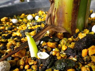 株分け バナナは実がなり収穫するとその木は枯れてしまうので、吸い芽を株分けして増やします。ある程度吸い芽が大きくなってから株分けしてください。苗が小さいうちに株分けをした場合枯れることが多くあります。実が収穫したら茎を根元から切り除いて処分してください。 バナナに種が含まれている品種は種からでも栽培できます。(野生のバナナ) 詳しくはこちらで分かりやすくご説明しています。