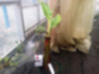リンゴ味の食用耐寒性・アップルバナナ極太苗(見本・同等クラスを手配) 品種:アップルバナナ 学名:Musa・Manzano 極太苗 4900円 ご注文はこちら